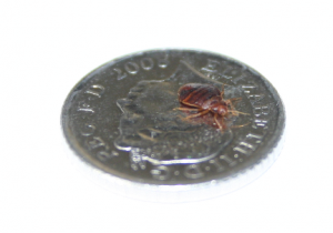 Bed-bug-on-a-5pence-coin