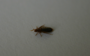 bed-bug-running-over-a4-sheet-of paper