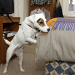 lola searching for bed bugs